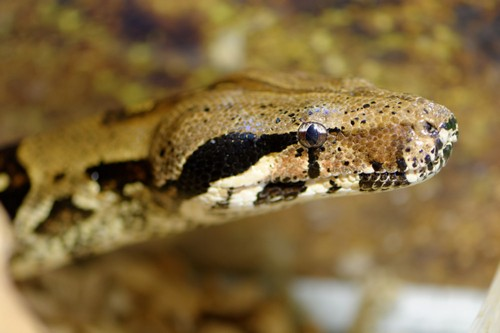 interesting_facts_about_boaconstrictor4