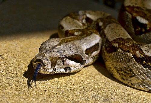 Boa Constrictor Habitat Diet Size And Species With Images Animalspal