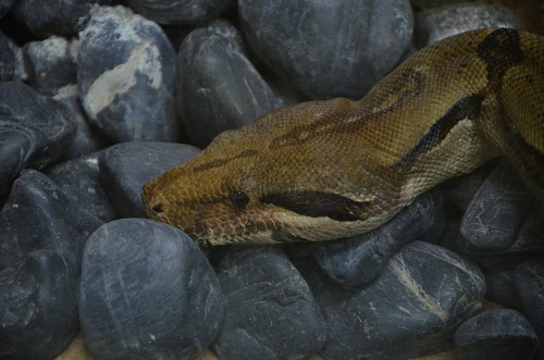 interesting_facts_about_boaconstrictor6