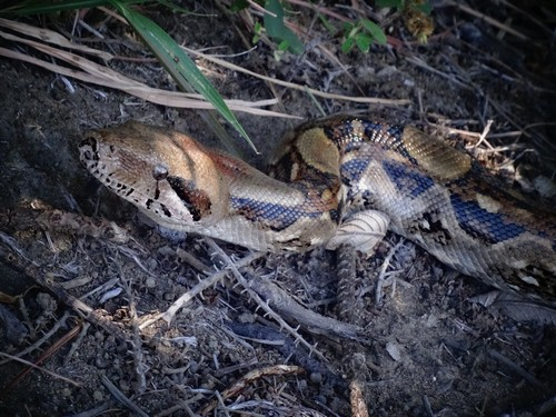 interesting_facts_about_boaconstrictor7