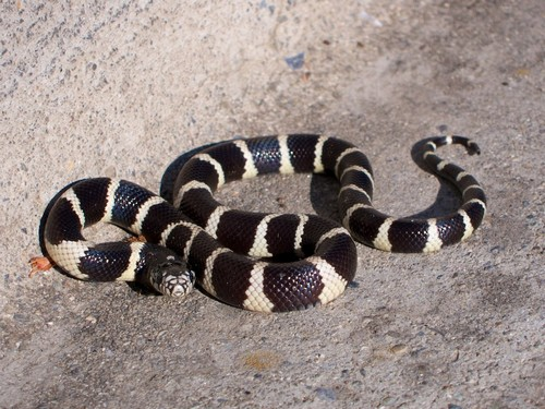 Spotted this small king snake across the street from the entrance to Heintz Open Space in Los Gatos