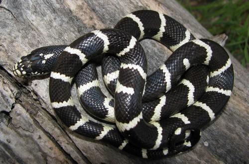 King Snakes