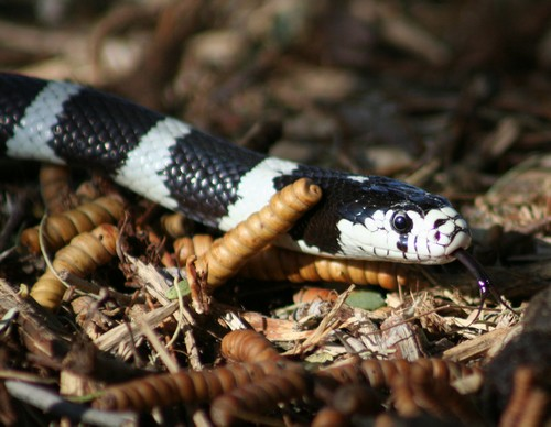 Interesting_Facts_About_KingSnakes8-ap