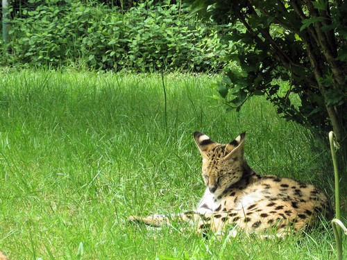 interesting_facts_about_serval1