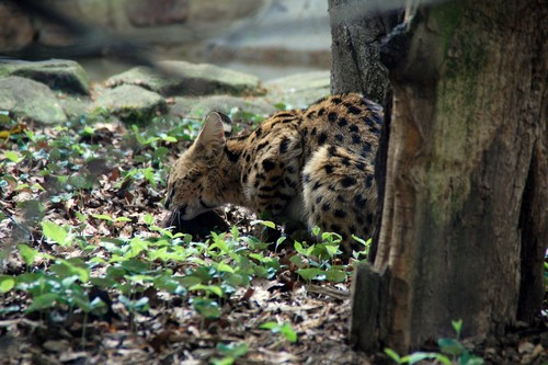 interesting_facts_about_serval2