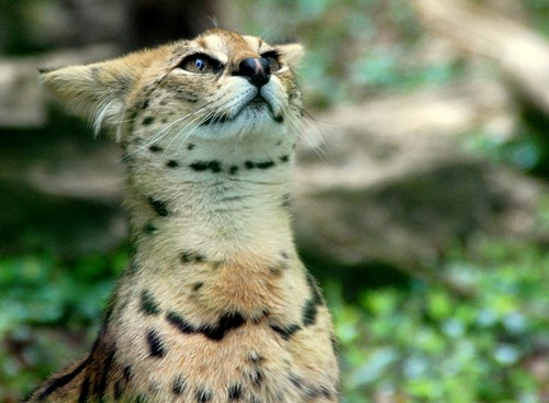 interesting_facts_about_serval3