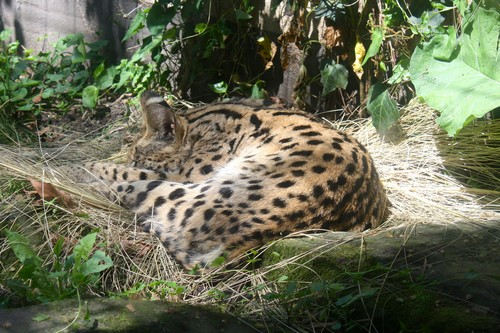 interesting_facts_about_serval4