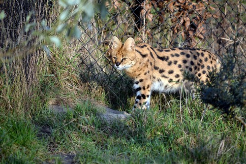 interesting_facts_about_serval5