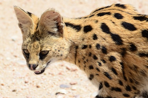 interesting_facts_about_serval6