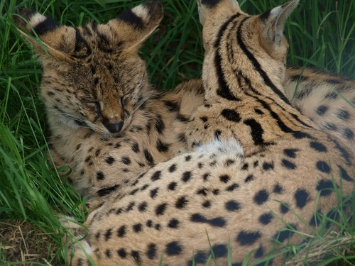 interesting_facts_about_serval7