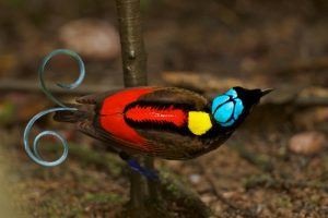 interesting_facts_about_birds_of_paradise8