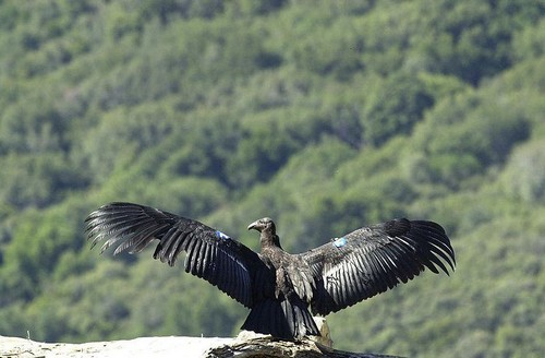 california-condor1