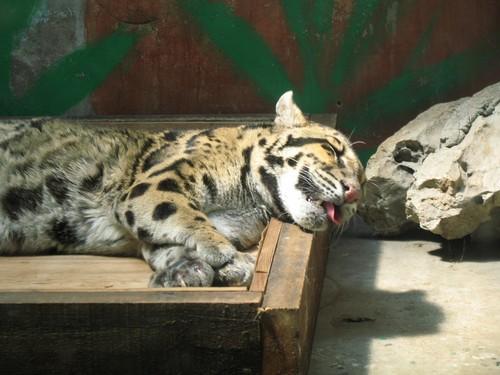 Clouded leopard population