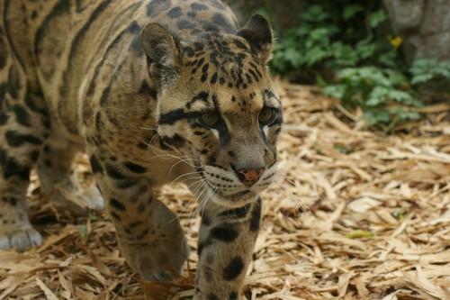 Clouded leopard behavior