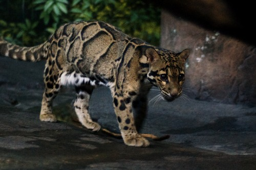 Threats for Clouded leopards