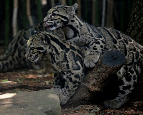 Clouded Leopard Reproduction