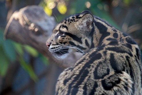 Physical Appearance of Clouded Leopard