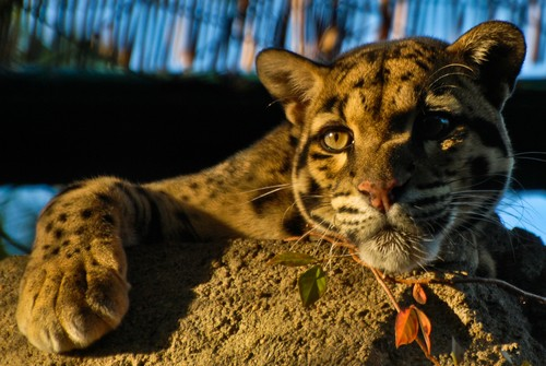 interesting_facts_about_clouded_leopards8-ap