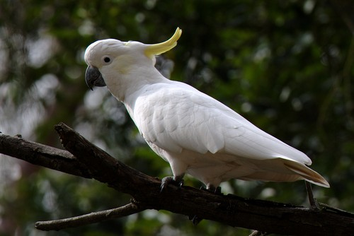 interesting_facts_about_cockatoo4