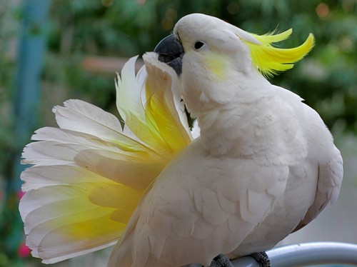 interesting_facts_about_cockatoo6