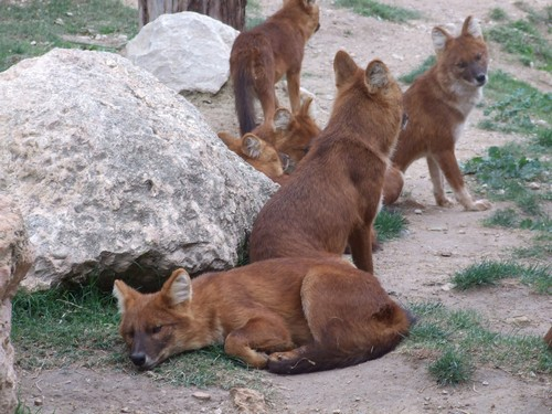 interesting_facts_about_dhole2