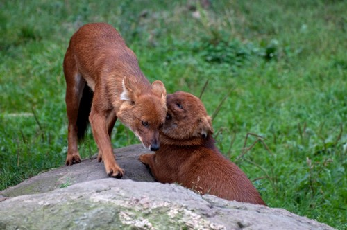 interesting_facts_about_dhole4