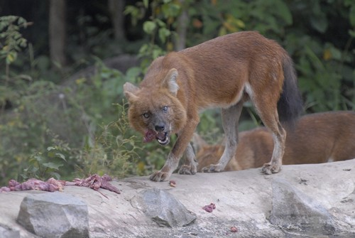interesting_facts_about_dhole5