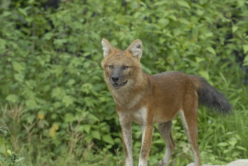 interesting_facts_about_dhole6