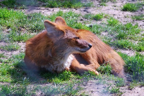 interesting_facts_about_dhole7