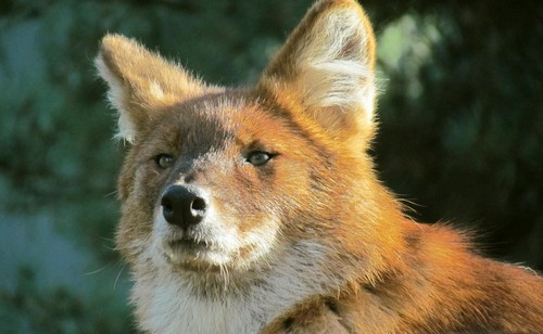 interesting_facts_about_dhole8-ap