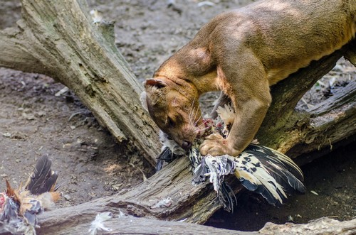 Fossa - diet, habitat, facts and lifespan with images ...