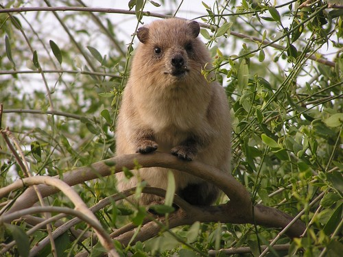 interesting_facts_about_hyrax2