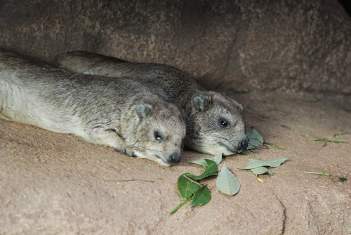 interesting_facts_about_hyrax3