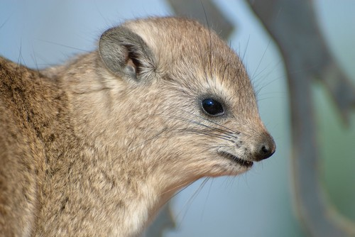 interesting_facts_about_hyrax5