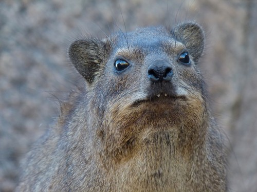 interesting_facts_about_hyrax6