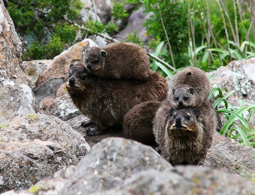 interesting_facts_about_hyrax7