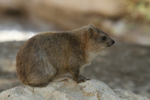 interesting_facts_about_hyrax8-ap