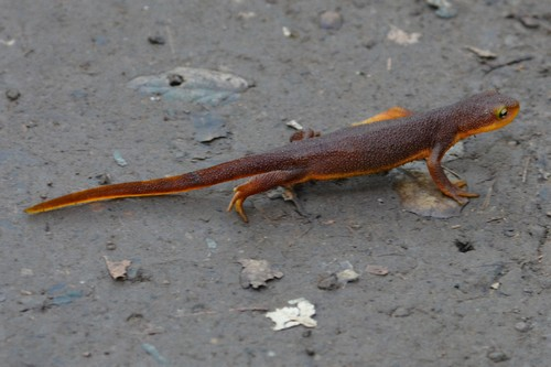 interesting_facts_about_newts7
