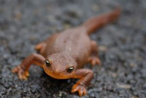 interesting_facts_about_newts8