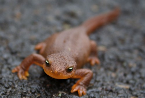 interesting_facts_about_newts8-ap