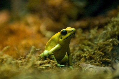 interesting_facts_about_poison_dart_frog1