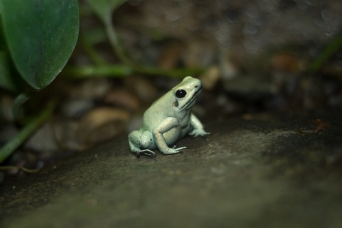 interesting_facts_about_poison_dart_frog2