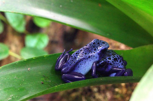 interesting_facts_about_poison_dart_frog3