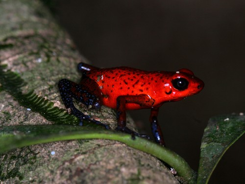 interesting_facts_about_poison_dart_frog4