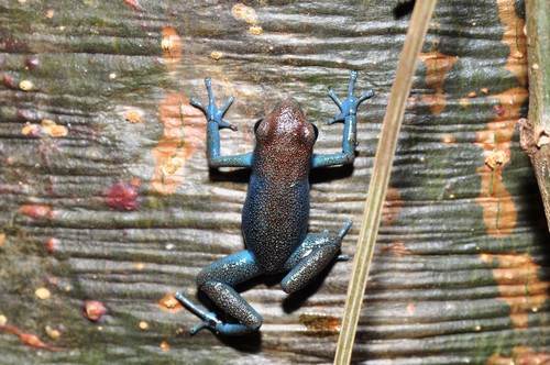 interesting_facts_about_poison_dart_frog5