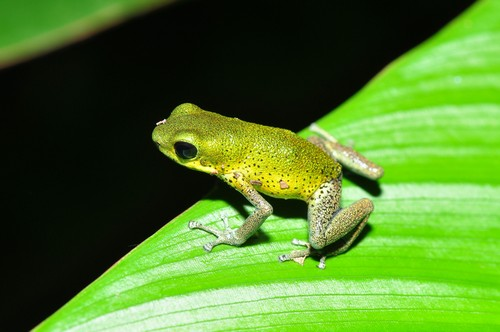 interesting_facts_about_poison_dart_frog6