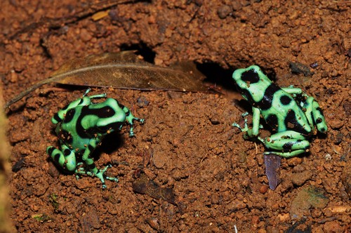 interesting_facts_about_poison_dart_frog7