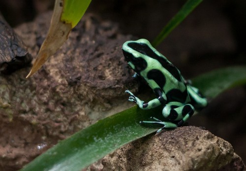 interesting_facts_about_poison_dart_frog8-ap