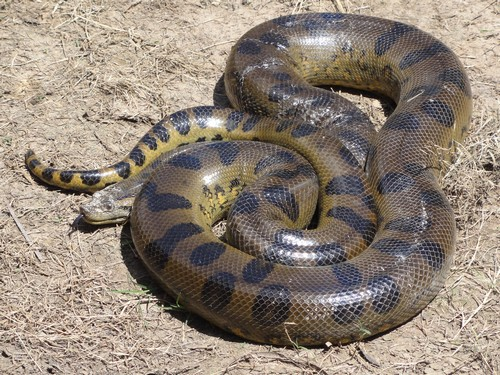 interesting_facts_about_anacondas1
