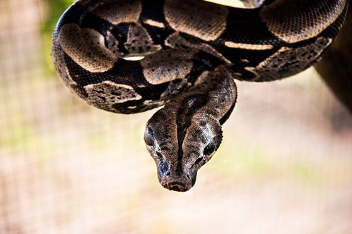 interesting_facts_about_anacondas5